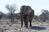 African Elephant Bull, Etosha NP