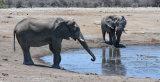 Bull Elephants, Etosha NP