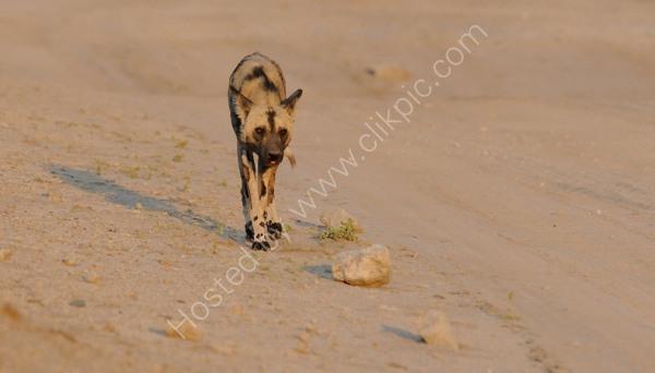 Wild Dog and Shadow