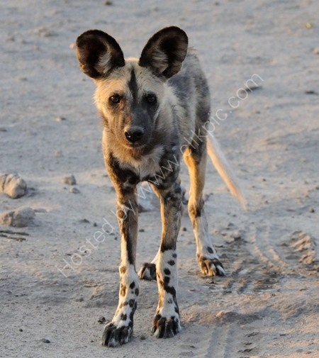 Wild Dog Looking Up At Me