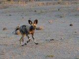 Wild Dog Pup Catching Up