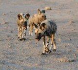 Wild Dog Trio On The Move