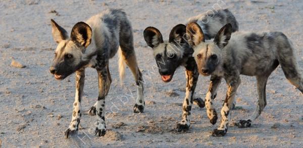 Wild Dog Pups Nearby