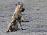 Wild Dog Pups Spot Warthog