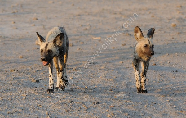 Wild Dog Pups On The Move