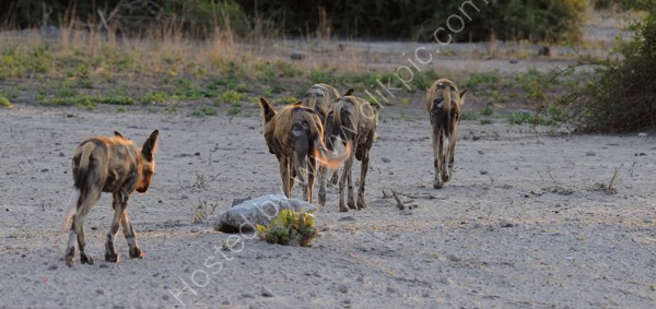 Wild Dog Pack Off To Hunt