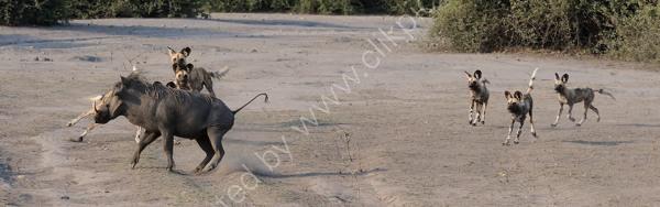 Wild Dog Warthog Skirmish