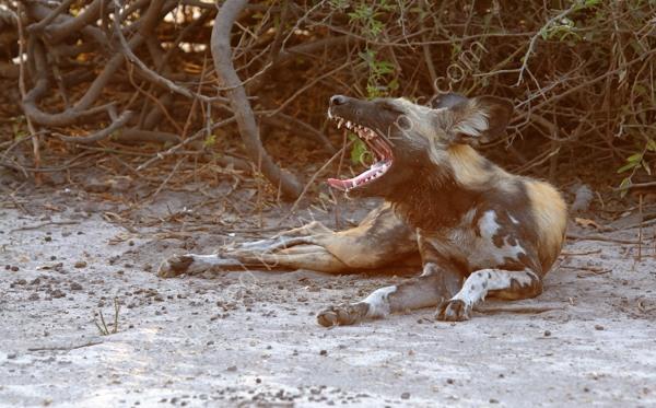 Wild Dog Yawning