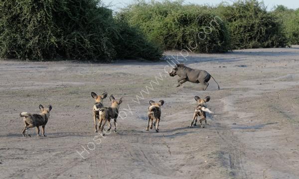 Wild Dogs After Warthog
