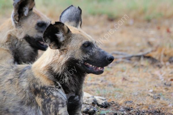 Bash St Wild Dogs