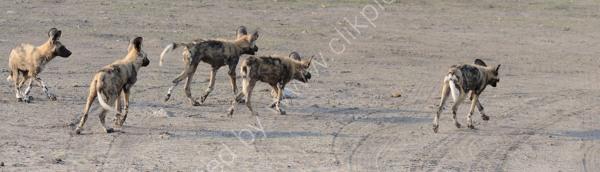 Wild Dogs Onto Warthog