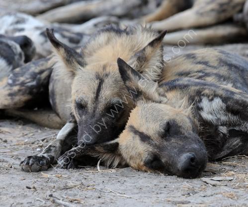Wild Dogs Dozing