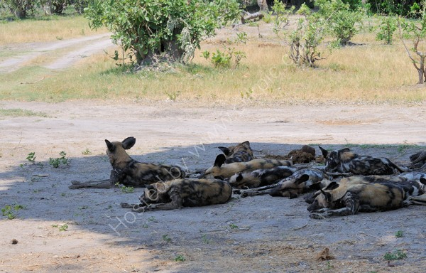 Wild Dogs In Shade