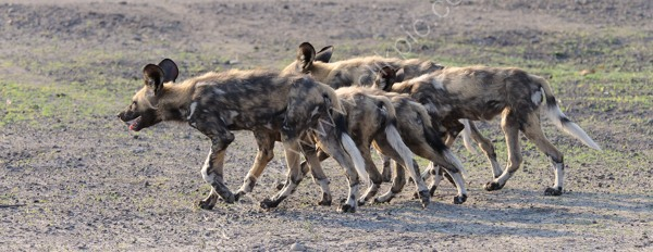 Wild Dogs On The Move
