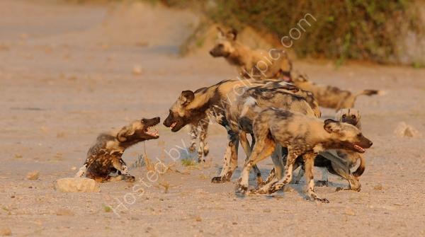 Wild Dogs Pre Hunt Excitement