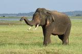 Asian Elephant Bull