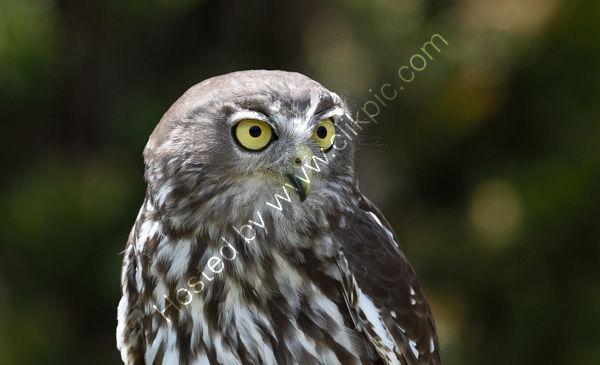 Barking Owl (Captive)