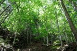 Birch Forest, Carpathian Mountains