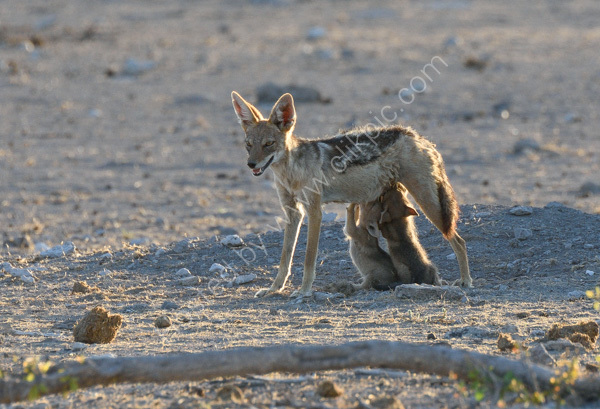 Black Backed Jackal Suckling Cubs
