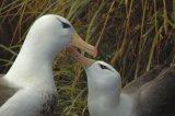 Black Browed Albatross Pair