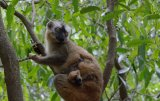 Brown and Collared Lemur Hybrid With Baby