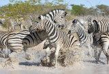 Grumpy Zebras