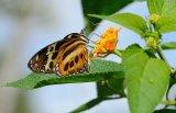 Butterfly, Iguazu Falls