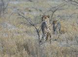 Cheetah and Cub