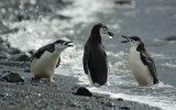Chinstrap Penguin Argument