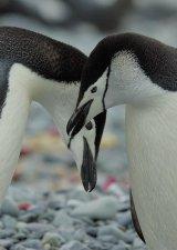 Chinstrap Penguin Pair