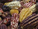 Corn Cobs, Pisac Market
