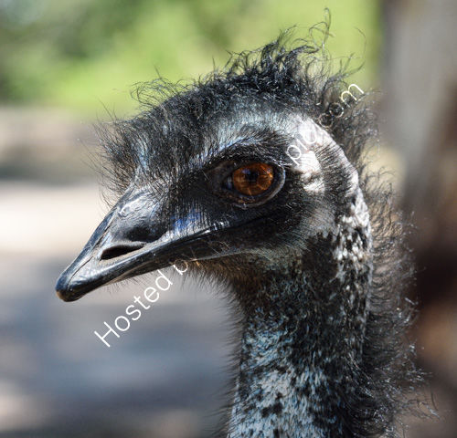 Bad Hair Day (Captive Emu)
