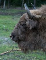 European Bison (Captive)