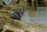 Flightless Steamer Duck Pair