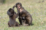 Young Gelada Baboons Amuse Themselves