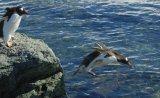 Gentoo Penguin Diving Into Sea