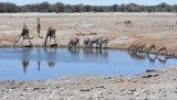 Giraffe, Zebra and Impala