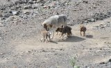 Grey Wolf Babysitter Playing With Pups