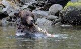 Grizzly Bear Feeding on Salmon