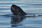 Humpback Whale Spyhopping