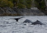 Humpback Whales Diving Down To Hunt