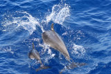 Indo Pacific Bottlenose Dolphins