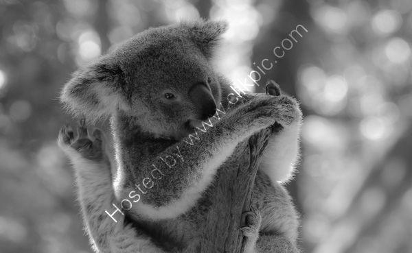 Koala (Captive)