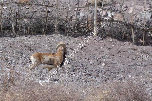 Ladakh Urial