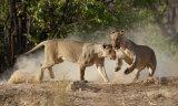 Lionesses Playfighting