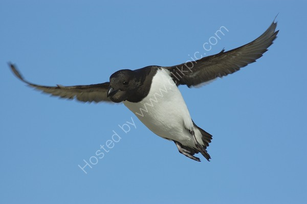 Little Auk Flying In With Full Crop