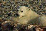 Polar Bear Cub on Whalebone