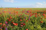 Poppies and Vetch
