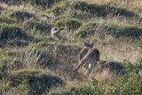 Puma Hunting Grey Fox