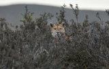 Female Puma